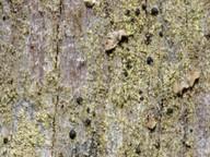 Strangospora moriformis