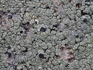 Tephromela grumosa