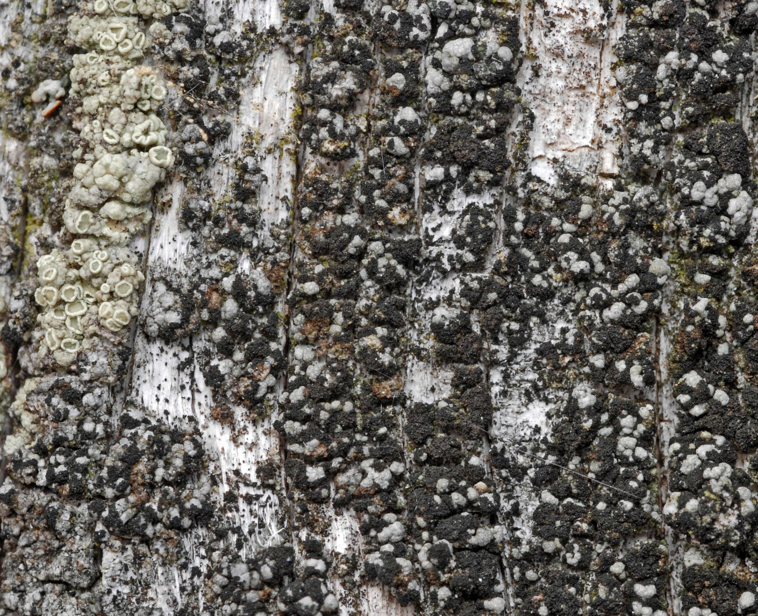Thelomma ocellatum