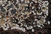 Toninia sedifolia