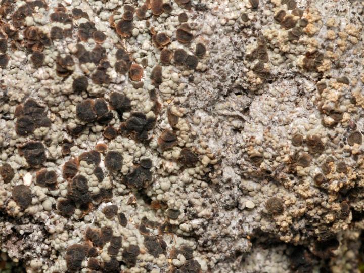 Trapeliopsis granulosa