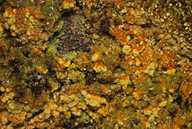 Trapeliopsis pseudogranulosa