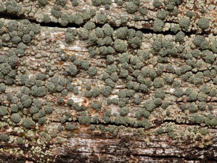 Trapeliopsis flexuosa