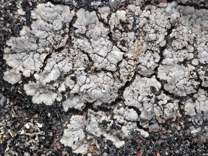 Trapeliopsis wallrothii