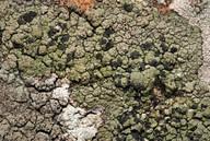 Tylothallia biformigera