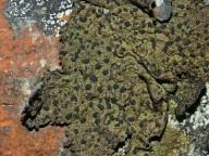 Umbilicaria hyperborea