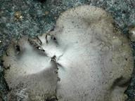 Umbilicaria hirsuta