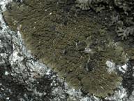 Vestergrenopsis isidiata