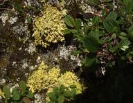 Vulpicida tubulosus