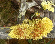Vulpicida juniperinus