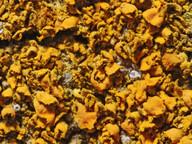 Xanthoria fulva