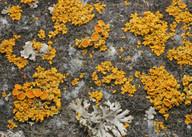 Xanthoria polycarpa
