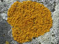 Xanthoria aureola