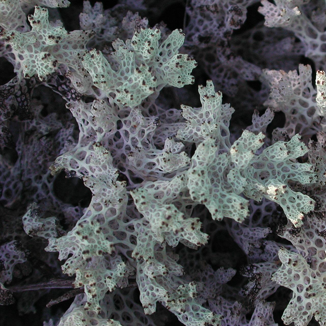 Cladia retipora